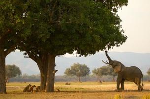 Bull african elephant (Loxodonta africana) feeding on sausage tree leaves, having driven pride of liの写真素材 [FYI03517325]