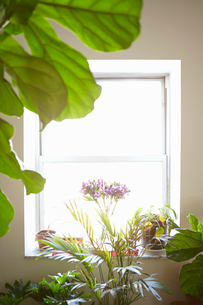 Variety of house plants in front of window, indoorsの写真素材 [FYI03517664]