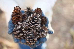 Hands of mature woman holding pine cones in forestの写真素材 [FYI03518355]