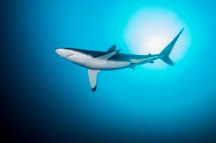 Lonely, curious silky shark circling, Socorro Island, Revillagigedo, Mexicoの写真素材 [FYI03519344]