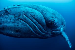 Curious female humpback whale, closeup, Roca Partida, Revillagigedo, Mexicoの写真素材 [FYI03519351]