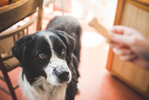 Portrait of dog staring at owners hand and dog biscuitの写真素材 [FYI03521897]