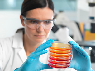 Scientist examining set of petri dishes in microbiology labの写真素材 [FYI03522487]