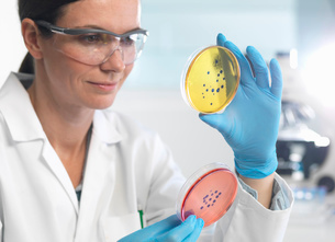 Scientist examining set of petri dishes in microbiology labの写真素材 [FYI03522488]