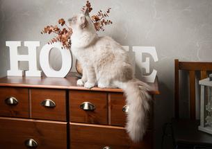 Ragdoll cat sitting on sideboardの写真素材 [FYI03523078]
