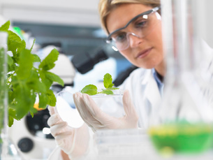 Scientist viewing development of experimental plants in research laboratoryの写真素材 [FYI03523372]