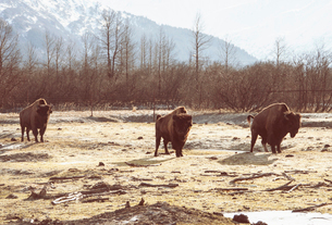 Bison, Girdwood, Anchorage, Alaskaの写真素材 [FYI03523482]