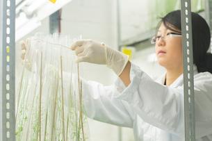 Female scientist preparing plant sample in  greenhouse labの写真素材 [FYI03523848]