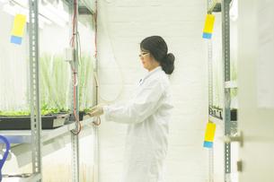 Female scientist choosing plant samples in  greenhouse labの写真素材 [FYI03523849]