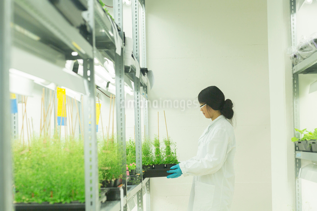 Female scientist removing  plant samples in  greenhouse labの写真素材 [FYI03523851]