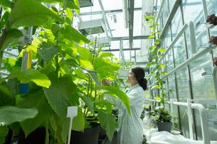 Female scientist testing plant sample in  greenhouse labの写真素材 [FYI03523854]