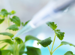 Close up of pipetting experimental chemical onto seedling in laboratoryの写真素材 [FYI03524614]
