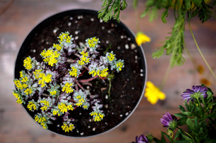 High angle view of pot plant with small yellow leavesの写真素材 [FYI03525182]