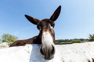 Portrait of curious donkey, Menorca, Spainの写真素材 [FYI03525217]
