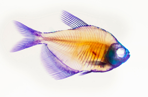 Alizarin red bone stain anatomical fish skeleton preparation of a white finned tetraの写真素材 [FYI03526028]