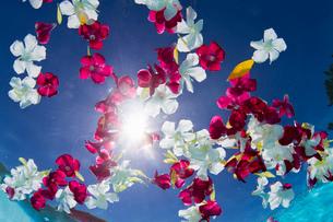 Underwater view of multicolored flower petals floating in swimming poolの写真素材 [FYI03526733]