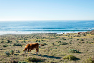 Cow grazing in coastal field, Big Sur, California, USAの写真素材 [FYI03526788]