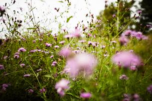 Meadow field of wild pink flowersの写真素材 [FYI03527340]