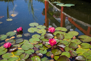 Pond with pink nymphaea and water lily flowers in landscaped garden, Quebec, Canadaの写真素材 [FYI03527531]
