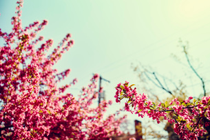 Pink flowers on plant and blue skyの写真素材 [FYI03527823]