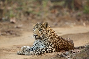 Leopard - Panthera pardus, This one is unusual in that he has blue eyes, rather than the more usualの写真素材 [FYI03528660]