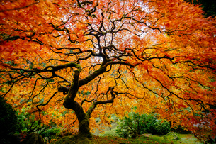 Japanese maple with silhouetted trunk and orange and red leavesの写真素材 [FYI03529232]
