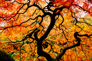 Low angle view of Japanese maple with red and orange autumn leavesの写真素材 [FYI03529234]