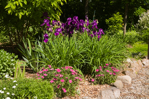 Bordered with rocks and purple Iris flowers in backyard garden in spring seasonの写真素材 [FYI03530097]