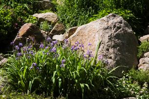 Purple Iris flowers bordered by large rock in backyard garden in spring seasonの写真素材 [FYI03530098]
