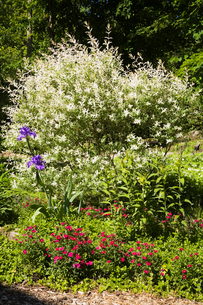Salix Integra (hakuro nishiki) willow shrub border in backyard garden in spring seasonの写真素材 [FYI03530104]