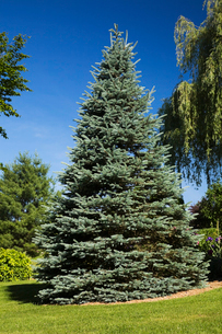 Garden lawn with (picea pungens glaucaa) colorado blue spruce tree in spring seasonの写真素材 [FYI03530107]
