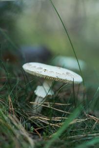 Close up of white mushroom in grassの写真素材 [FYI03532683]