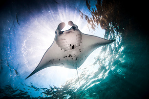Underwater low angle view of  Manta Ray (manta alfredi) feeding at ocean surface, Bali, Indonesiaの写真素材 [FYI03532967]