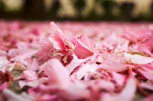 Surface level view of pink spring blossom petals on park groundの写真素材 [FYI03533803]