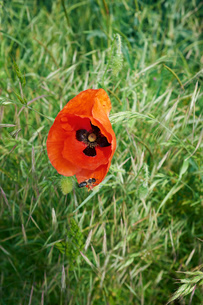 Insect on red poppy in fieldの写真素材 [FYI03533841]