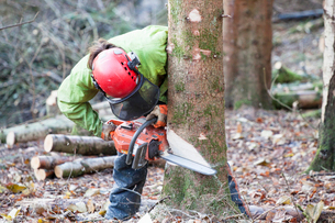 Conservationist working in a reserve to remove non-native conifer trees for natural forest restoratiの写真素材 [FYI03535244]