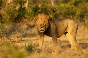 Portrait of  male lion (Panthera leo), Mana Pools National Park, Zimbabweの写真素材 [FYI03535809]