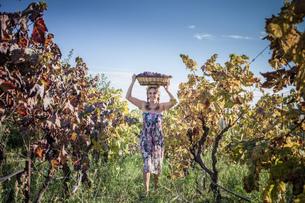 Woman balancing basket of grapes on head at vineyard, Quartucciu, Sardinia, Italyの写真素材 [FYI03536018]