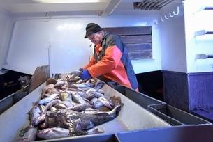 Fisherman sorting fish on trawlerの写真素材 [FYI03537097]