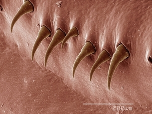 Coloured SEM of body surface of crayfishの写真素材 [FYI03537479]