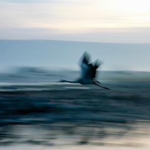 Defocused side view of common crane in flight, blurred motionの写真素材 [FYI03537516]