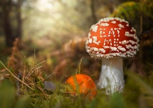 Close up of fly agaric mushroom, Coombe Valley, UKの写真素材 [FYI03537603]