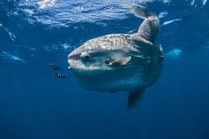 Underwater view of mola mola, ocean sunfish, Magadalena bay, Baja California, Mexicoの写真素材 [FYI03537933]