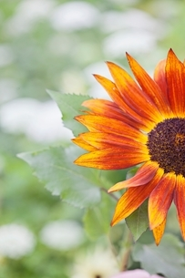 Cropped close up of orange flower in gardenの写真素材 [FYI03537991]