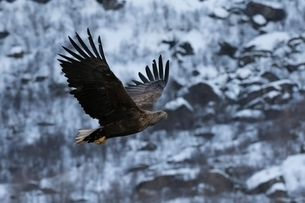 White tailed eagle in flight, Lofoten and Vesteralen Islands, Norwayの写真素材 [FYI03538042]