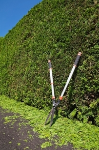 Clipped Thuja occidentalis - cedar tree hedge with garden shears and trimmings on black asphalt drivの写真素材 [FYI03538142]
