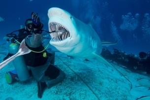 Dive master hand feeding female bull shark, Playa del Carmen, Quintana Roo, Mexicoの写真素材 [FYI03538513]