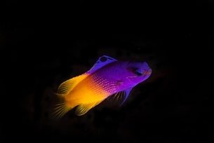 Underwater side view of royal gramma fish against dark background, Cancun, Mexicoの写真素材 [FYI03538715]