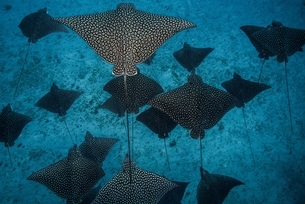 Underwater overhead view of spotted eagle rays casting shadows on seabed, Cancun, Mexicoの写真素材 [FYI03538724]