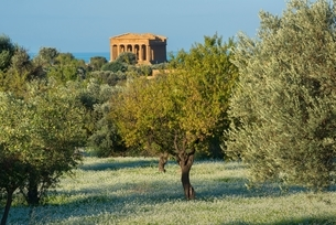 Olive grove and the Temple of Concordia, Valley of the Temples, Agrigento, Sicily, Italyの写真素材 [FYI03540042]